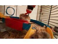Fully weened robo dwarf hamsters
