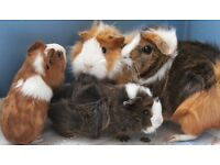 24 baby guinea pigs free to a good home