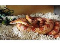2 Corn snakes & Viv