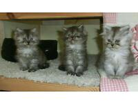 Gorgeous fluffy persian kittens