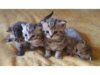 Adorable British Shorthair Kittens.