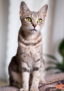 Tallulah rescue CAT to adopt VET WORK INC Wembley Downs Stirling Area Preview