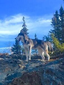 """Young Female Dog - Husky-Labrador Retriever: """"Fleur"""""""