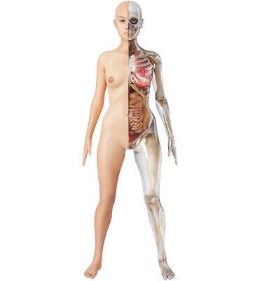Female Anatomy Model Half Skinskeleton - Anatomically Correct - Highly Detailed