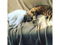 Two beautiful female cats for sale.