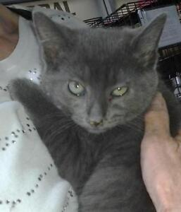 "Baby Male Cat - Domestic Short Hair-gray: ""Grisou"""