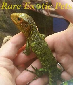 Reptiles, Snakes, Lizards and Feeders Cambridge Kitchener Area image 3