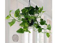 Hang Vine House Plant