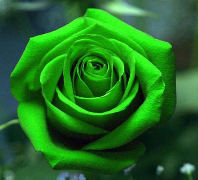 Rare Multi-Colors Green Rose Flower Seeds Garden ...