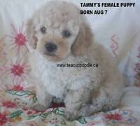 Toy / Tiny Toy Poodle Puppies CKC Registered
