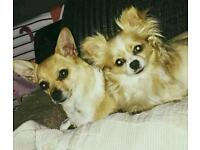 2 chihuahua dogs for sale. Must go together.