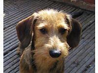 Dachshund Kaninchen Wire Haired Puppy....