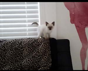 Beautiful Affectionate lilac point Siamese kitten REDUCED