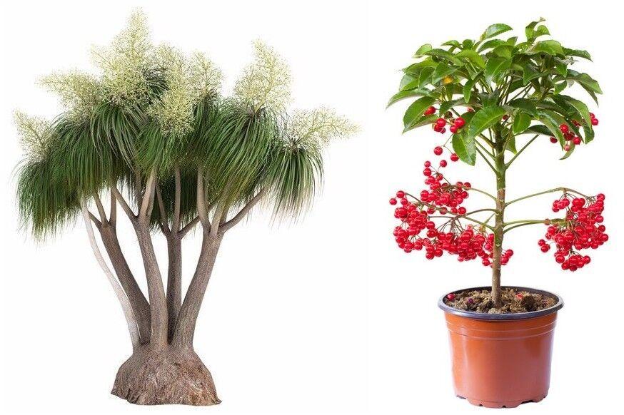 Zwei Zimmerpflanzen: der beliebte Elefantenbaum und die Zier-Spitzblume.