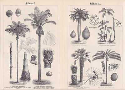 Palmen Kokospalme Fächerpalme Holzstiche von 1897 Zuckerpalme Königspalme