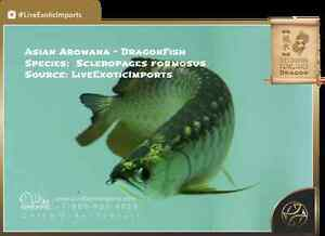 ASIAN AROWANAS IMPORTED DIRECTLY BY LIVEEXOTICIMPORTS.COM