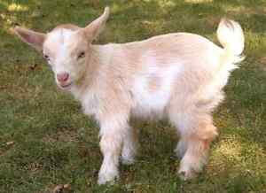Wanted Pygmy doeling goat
