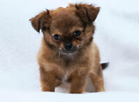Magnifique Chihuahua poils longs **UNE SUPER CHANCE**