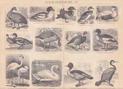 Albatros Königspinguin Möwen Tordalk HOLZSTICH von 1886 Tölpel Pelikan