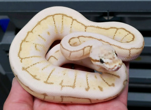 Male Queen Spin Ball Python