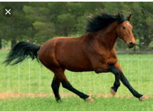 Candian Horse or Draft X