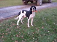 Loving, well behaved 3 yr old male Spaniel mix black and white.