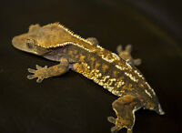 Crested Gecko, Terrarium, Stand, Mister, & Accessories
