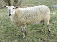 Proven breeding ram for quality lambs
