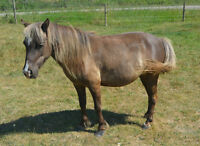Gentle 8 Year Old Mare