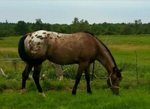 16.1hh ApHC appaloosa mare in foal for 2019