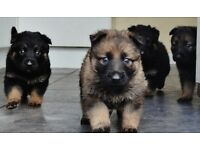 chezch german shepherd puppys for sale .vaccinated and wormed