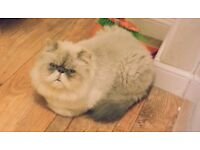 MISSING CREAM/BEIGE PERSIAN CAT - CONSETT, COUNTY DURHAM - SUSPECTED STOLEN