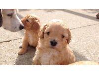Cavashion puppies 3male 2 female