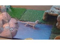 Bearded dragon with viv and accessories