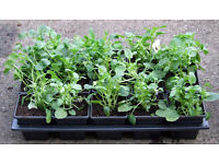 Winter Flowering Viola's Assorted Colours - Tray of 15 plants in 7cm pots £5.00