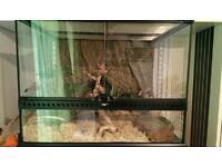 Butter corn snake full set-up with Exo terra glass terrarium 60x45x45