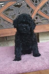 Poodle Puppy - Female