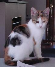 Kittens - cute, affectionate, ready for adoption today Silverdale Wollondilly Area Preview