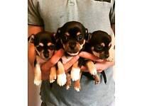 Chihuahua Puppies HURRY 1 Remaining!