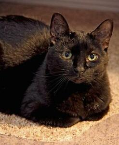 "Senior Female Cat - Domestic Short Hair-black: ""Serene"""
