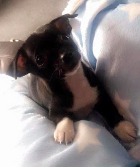 £500 for BOTH gorgeous Pups -Jack Chi (Jack Russell x Chihuahua Chug Pug x Chihuahua 6 mnths old