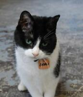 "Senior Male Cat - Tuxedo: ""Sabali"""