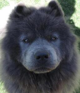 """Young Female Dog - Chow Chow: """"Royal"""""""