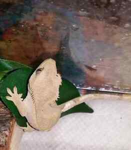Baby Crested Gecko PIPER Kingston Kingston Area image 3