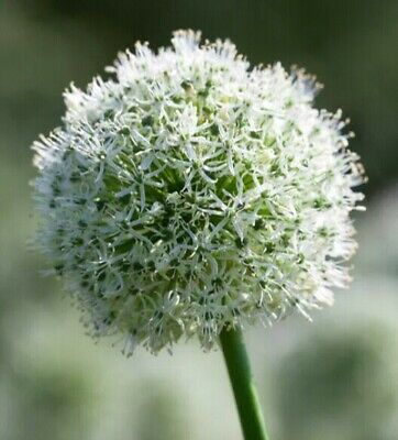 SOLD OUT 2 ALLIUM WHITE GIANT ~ Massive Bulb Size 24+! ~ LARGEST AVAILABLE ~