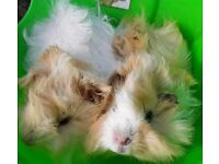 Baby Abyssinian Guinea Pigs Males