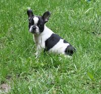 Top Quality French Bulldog Puppies -  Canada Day Special!!