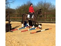 15.3hh super safe gelding for part loan