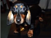 Miniature Dachshund little boy 3 months old ready to leave full documentation but no KC reg