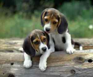 Looking for Beagle Puppy